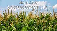 Bacillus thuringiensis (Bt)